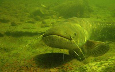 Wels catfish monitoring